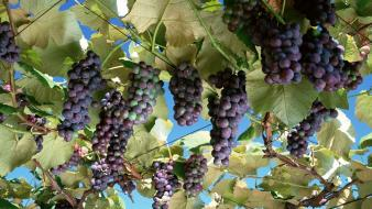 Nature fruits grapes fruit trees wallpaper