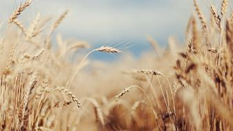 Nature wheat plants macro Wallpaper