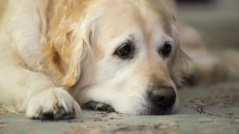 Animals dogs golden retriever wallpaper