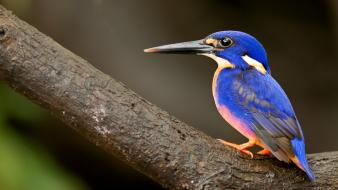 Birds kingfisher wallpaper