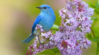 Flowers lilac birds bluebirds wallpaper