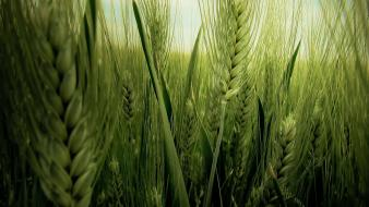 Green landscapes nature spikelets wallpaper