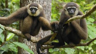 Indonesia national park gibbons wallpaper