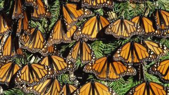 Mexico monarch butterflies state wallpaper