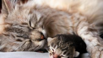 Nature cats animals sleeping kittens domestic cat wallpaper