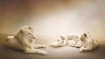 Nature family animals lions wallpaper