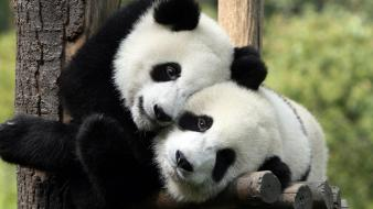 Panda pictures wallpaper
