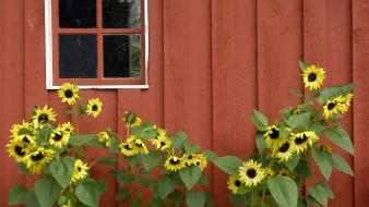 Red alaska parks barn pioneer sunflowers wallpaper