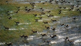 Water animals wildlife running antelope botswana wallpaper