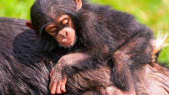 Animals chimpanzee baby wallpaper