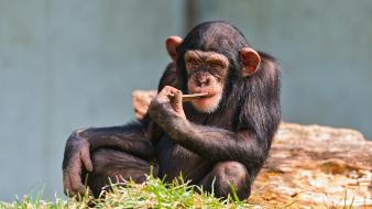 Animals chimpanzee eating wallpaper