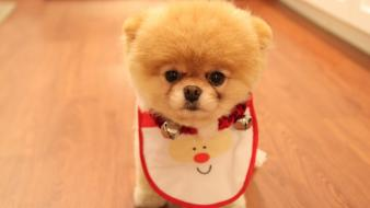 Animals dogs christmas pets pomeranian boo wallpaper