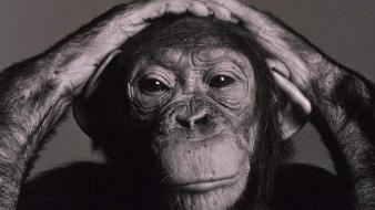 Animals monochrome chimpanzee wallpaper