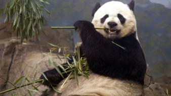 Animals panda bears eating wallpaper