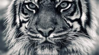 Animals tigers grayscale wallpaper