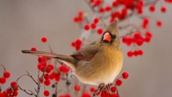 Birds cardinal berries wallpaper