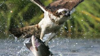 Birds fish eagles hunting splashes Wallpaper