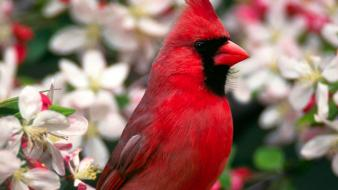 Close-up flowers birds cardinal northern blurred background wallpaper