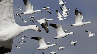 Flock flight geese birds wallpaper
