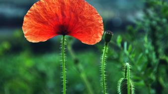 Flowers plants red poppies wallpaper