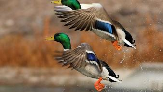 Flying birds ducks mallard wallpaper