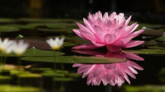 Lily pads water lilies reflections pink flowers wallpaper