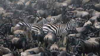 National geographic zebras wallpaper