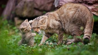 Nature animals cubs wildcat wallpaper