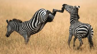 Nature animals zebras facepunch kicking wallpaper