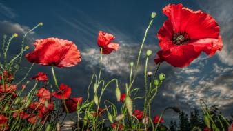 Nature flowers poppies wallpaper