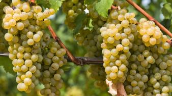 Nature grapes italy south tyrol wallpaper