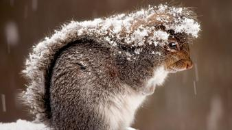 Nature snow animals outdoors squirrels national geographic covering Wallpaper