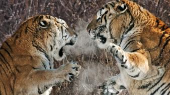Snow china fighting animals two siberian tigers wallpaper
