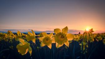Sun flowers fields daffodils yellow Wallpaper