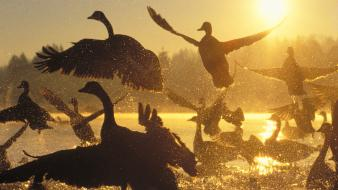 Sunrise birds silhouette canada sunlight water drops geese wallpaper