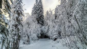 Winter snow forest whispering wallpaper