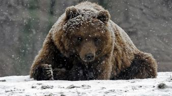 Animals grizzly bears snowing wallpaper