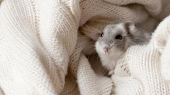 Animals hamsters dwarf wallpaper