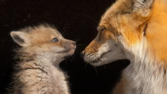 Baby animals mother foxes Wallpaper