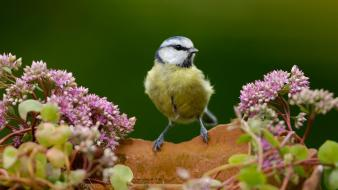 Birds animals blue tit pink flowers wallpaper