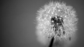 Flowers grayscale dandelions wallpaper