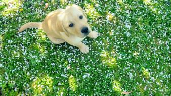 Grass dogs puppies labrador retriever parts spring wallpaper