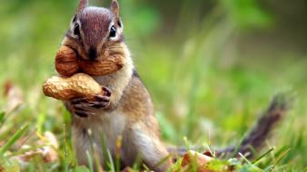 Grass peanuts squirrels wallpaper