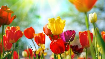 Multicolor flowers tulips wallpaper