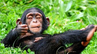 Nature animals chimpanzee wallpaper