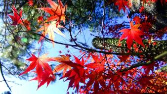Red leaves sunlight maple leaf branches skies Wallpaper