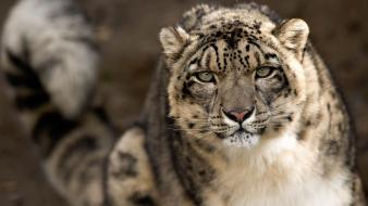 Snow cats leopards bars wallpaper