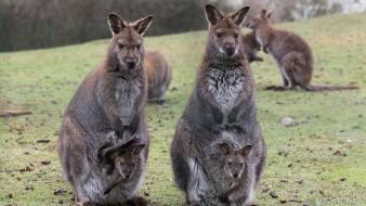 Animals baby kangaroos Wallpaper