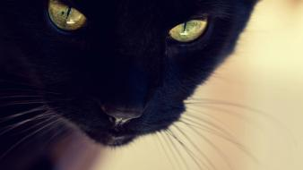 Animals black cat yellow eyes furry domestic wallpaper