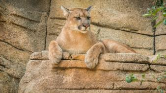Animals feline mountain lions wallpaper